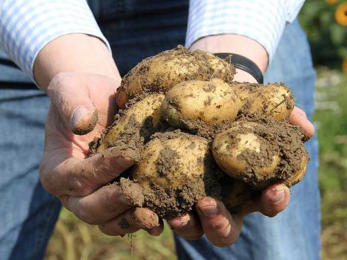 Bild ©Volmary: Die gelbschalige `Kifli` ist eine tolle Kochkartoffel.