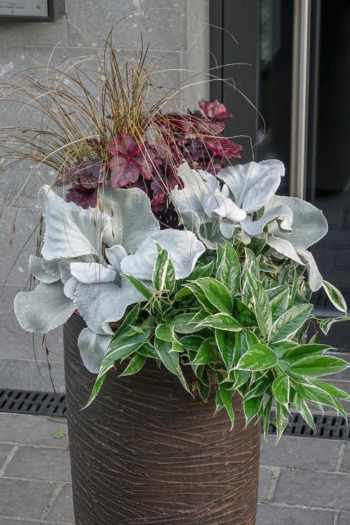 Bild Picturegarden Rohner: In Kombination mit Traubenheide (Leucothoe), Purpurglöckchen (Heuchera) und Herbstsegge (Carex comans) wirken die silbergrauen 'Angel Wings' besonders extravagant.