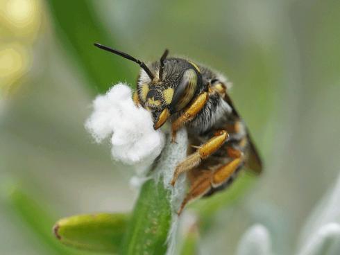 Bild: Picturegarden Rohner - Diese Garten-Wollbiene (Anthidium sp.) schabt als Baumaterial für ihre Brutzellen die Wolle eines Currykrauts (Helichrysum italicum) ab.