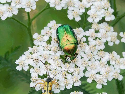 Bild: Picturegarden Rohner - Ein grün glänzender Rosenkäfer und ein Schmalbock treffen sich bei der Pollenmahlzeit auf einer Schafgarbe.