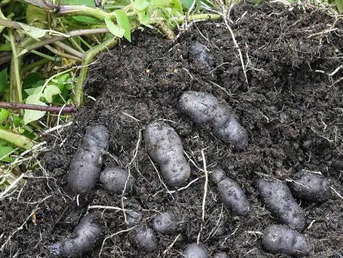 Bild Picturegarden Rohner: `Vitelotte Noire`, die Trüffel-Kartoffel, verblüfft mit dunkelvioletten Knollen.