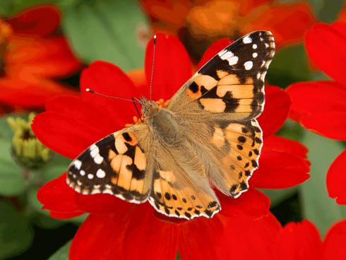 Bild: Picturegarden Rohner - Ein frisch geschlüpfter Distelfalter geniesst den Nektar einer schmalblättrigen Zinnie (Zinnia angustifolia).