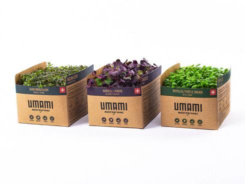 Bild UMAMI AG S. Bain: Microgreens für fortlaufende Ernte