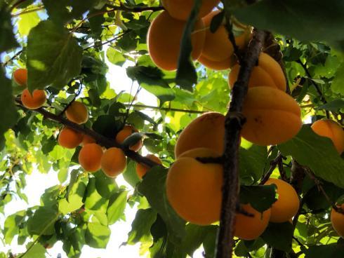 Bild garten.ch: Wer die Früchte der Arbeit geniessen will, setzt auf Obst im Garten ;-)