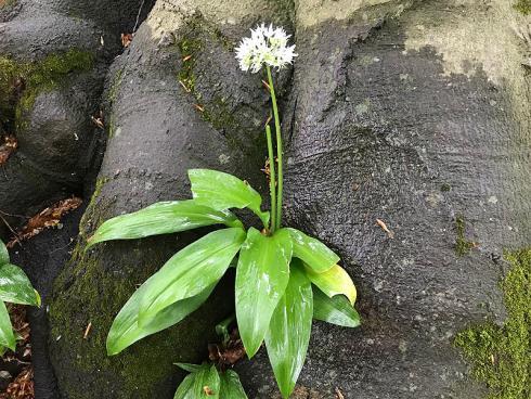 Foto garten.ch: Bärlauch wächst praktisch überall