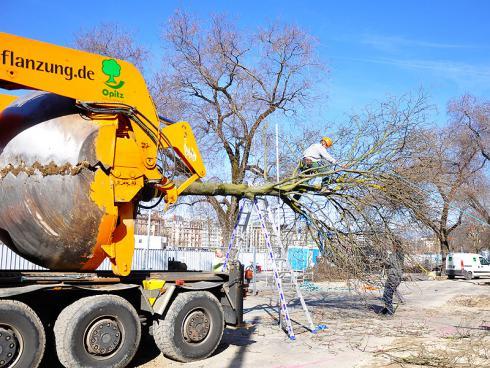Bild baumbörse.ch: Damit der Baum im Verkehrsraum platz hat, werden die Äste zusammengebunden.