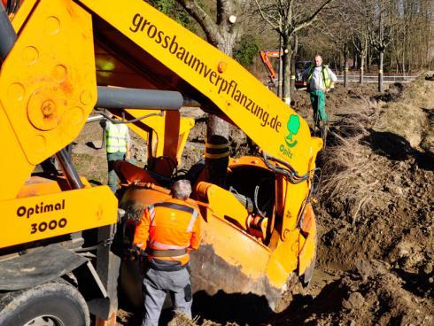 Bild baumbörse.ch: Der Baum wird in das vorbereitete Pflanzloch gepflanzt.