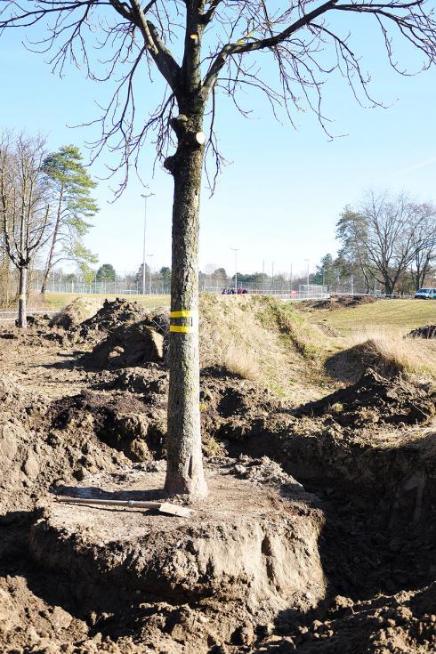 Bild baumbörse.ch: Verpflanzter Baum