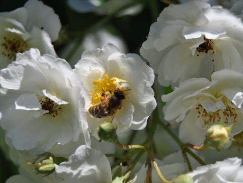 Bild garten.ch: Rosen in Pflanztrögen und grossen Kübeln sind beliebte Landeplätze