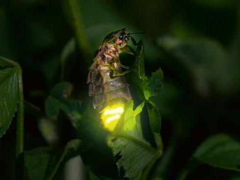 Auf Partnersuche: Leuchtendes Glühwürmchen-Weibchen (Grosser Leuchtkäfer, Lampyris noctiluca) © Biosphoto / Stephane Vitzthum