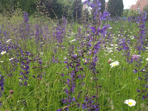 Bild garten.ch: Blumenwiese mit Salbei und Margeriten