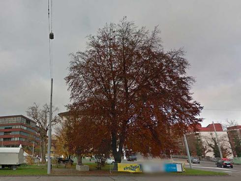 Bild Google Streetview: Blutbuche, die den Bauarbeiten der Limmatal weichen muss.