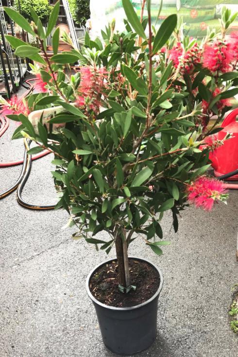 Bild BWL: Callistemon-Pflanze, wie sie zwischen März und Mai 2021 verkauft wurde.