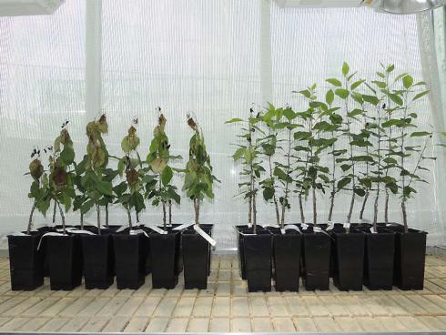 Bild: Feuerbrand ausgesetzte Apfelbäume, links ohne Resistenzgen, rechts mit Resistenzgen - Bild: Agroscope
