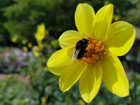 Bild BGL: Auch spätblühende Zwiebelblumen wie Dahlien werden gerne angeflogen. Wichtig ist, dass im Garten auch einfach blühende Sorten wachsen, denn nur diese produzieren Pollen und Nektar.