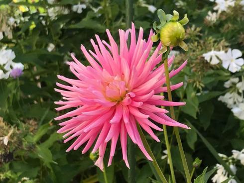 Bild garten.ch: Dahlien blühen meistens bis zum ersten Frost. Kurz davor sollte man sie ausgraben.