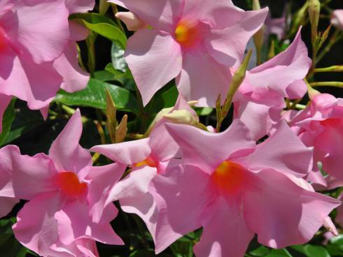 Bild garten.ch: Dipladenia gibt es in vielen Farben und Wuchsgrössen. Sie zeichnen sich aus durch eine sehr lange Blühdauer. Die Pflanze kann in einem hellen kühlen Raum überwintert werden.
