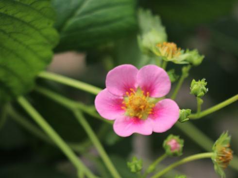 Bild Lubera GmbH: Double Pleasure® Happy Eyes® - auffällige Blüten mit dunkler Mitte