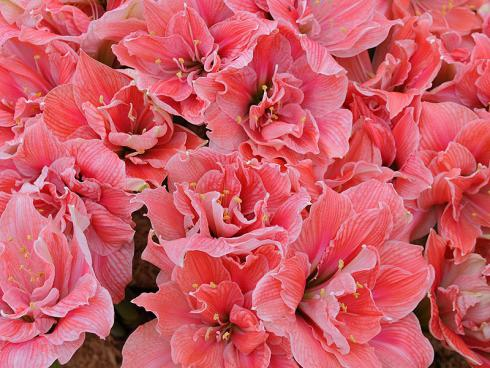 Foto: fluwel.de. - Die Amaryllis 'Sweet Nymph' versprüht mit einer Vielfalt an pinkfarbenen Schattierungen mädchenhaften Charme.