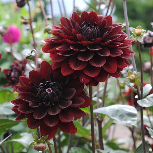 Foto: fluwel.de. - Die Seerosendahlie 'Karma Choc' bildet fast schwarze Blüten mit einem Hauch von Weinrot.