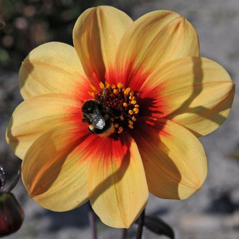 Foto: fluwel.de. - Über die 'Sunshine' und ihre Pollen und den schmackhaften Nektar freuen sich auch fleissige Insekten, wie Hummeln.