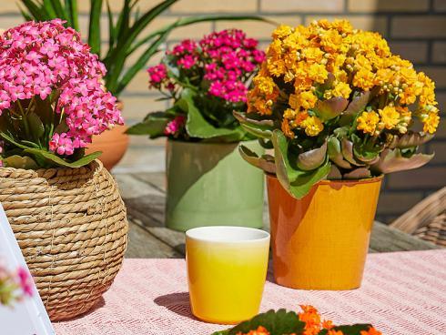 Foto: GPP. - Für ein pures Sommergefühl sorgt ein bunter Mix: Dafür werden die Kalanchoë in farbenfrohe Blumentöpfe gesetzt und nach Lust und Laune auf dem Terrassentisch arrangiert.