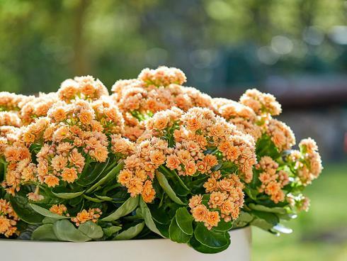Foto: GPP. - Die Kalanchoë entwickelt eine Vielzahl an kleinen, zierlichen Blüten, die mindestens zehn Wochen lang erfreuen.