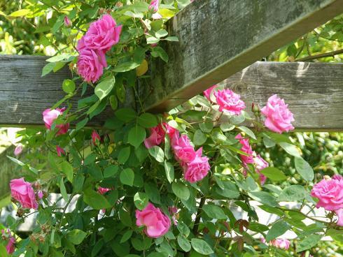 Foto: BGL. - Besonders eindrucksvoll ist es, wenn Rosen in die Lüfte streben und eine Pergola oder eine Laube umranken. In solchen blühenden Sitzecken lässt sich der Sommer herrlich genieflen.