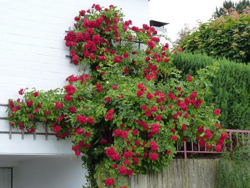 Foto: BGL. - Um in die Höhe wachsen zu können, müssen Kletterrosen an einer Rankhilfe festgebunden werden. Schöne Varianten sind eine Laube oder ein Zaun, aber auch eine Wand kann mit einem entsprechenden Gestell zum Blühen gebracht werden.