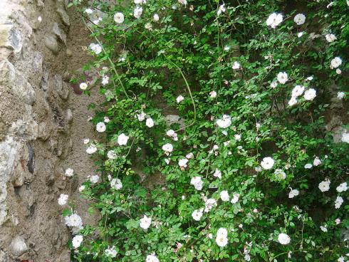 Foto: BGL. - Eine beliebte Variante mit dem Charme von englischen Cottagegärten sind die Rambler-Rosen. Sie erklimmen bis zu zehn Meter hohe Bauwerke oder Gestelle und das aus eigener Kraft.