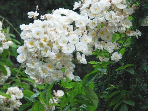 Foto: BGL. -  Wirklich eindrucksvoll ist es, wenn man Rambler-Rosen neben einen Obstbaum pflanzt. Mit der Zeit beranken sie dessen Krone beinahe vollständig und schenken dem Baum nach seiner eigenen Blüte eine zweite im Sommer.