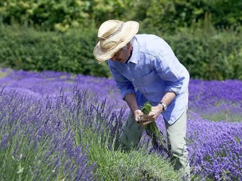 Foto Helix: Für einen kompakten, formschönen Wuchs sollte Lavendel ein- bis zweimal im Jahr fachgerecht zurückgeschnitten werden.