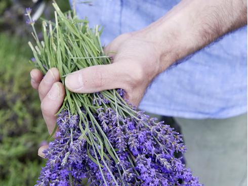 Foto Helix: Bevor der Lavendel im Sommer geschnitten wird, können natürlich auch dessen Blüten geerntet werden.
