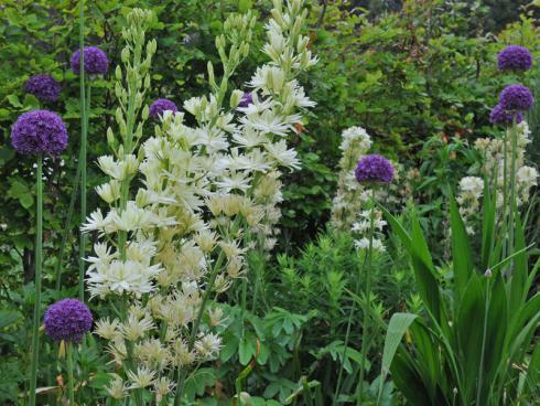 Bild fluwel.de: Da sich die Camassia an fast allen Standorten im Garten wohlfühlt, kann mit ihr wunderbar kombiniert werden. Sie macht sich zum Beispiel sehr gut neben imposanten Allium.