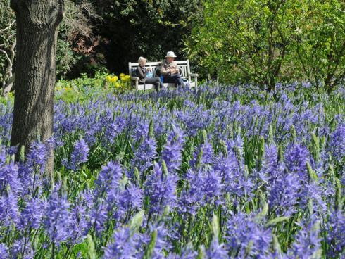 Bild fluwel.de: Für ein Blütenmeer im Frühling setzt man auf Masse und pflanzt eine Vielzahl der Camassiazwiebeln nebeneinander.