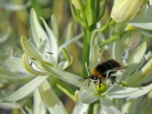 Bild fluwel.de: Die Camassia von Fluwel tragen das Zeichen 'Perfect for Pollinators' der Royal Horticultural Society (RHS), denn sie haben Bienen, Hummeln und Schmetterlingen viel zu bieten.