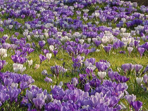 Bild fluwel.de: Krokusse erobern mit den Jahren ganze Grasflächen und bilden einen eindrucksvollen Blütenteppich