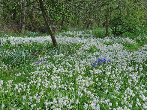 """Bild fluwel.de: """"Die Hyacinthoides ist eine wirklich dankbare Pflanze"""", so Carlos van der Veek. """"Steht sie in einem naturbelassenen Garten, sät sie sich fröhlich aus."""""""