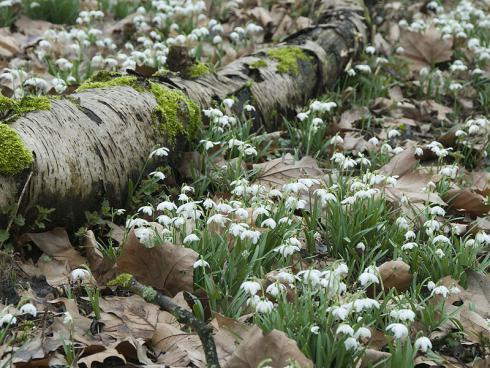 Bild fluwel.de: Es ist nicht ganz einfach, Schneeglöckchen als Zwiebeln erfolgreich im eigenen Garten zu kultivieren. Aber sobald sie einmal Fufl gefasst haben, bleiben sie über Jahre.