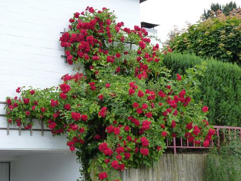 Foto BGL: Für romantisches Flair im Garten sind Kletterrosen wie geschaffen. Anders als Selbstklimmer entwickeln Kletterrosen jedoch keine Haftorgane. Daher benötigen sie eine Rankhilfe, an die sie festgebunden werden.