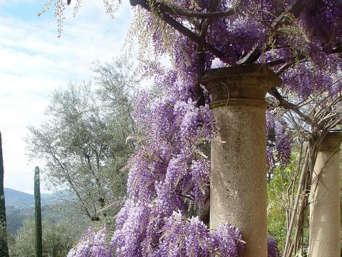 Foto BGL: Der Blauregen (Wisteria) zeigt zwischen April und Juni imposante Blütentrauben. Da er mit der Zeit ein beeindruckendes Gewicht erreicht, benötigt er eine stabile Rankhilfe, die fest im Boden verankert ist.