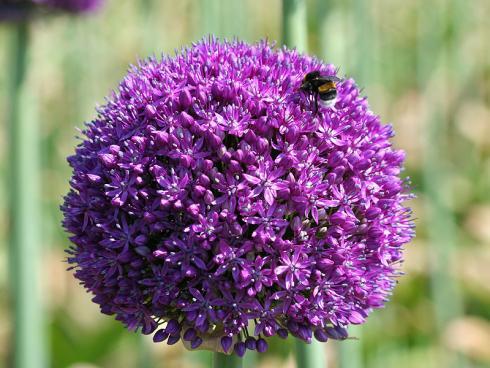 Foto: fluwel.de. - Mit seinen grossen, runden Blütenkugeln zieht Allium von Mai bis in den Juni alle Blicke auf sich. Auch zahlreiche Insekten, wie Hummeln und Bienen, 'fliegen' auf die Zwiebelpflanze.