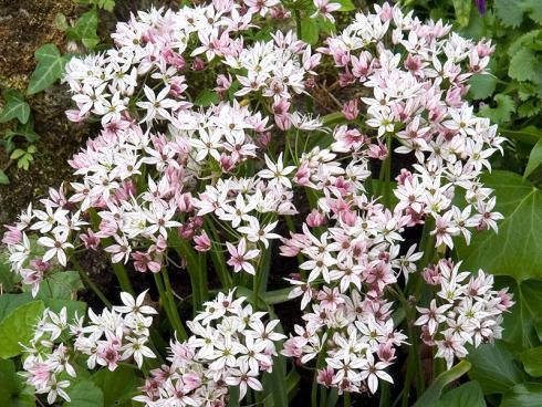 Foto: fluwel.de. - Neben den grossen Allium gibt es auch kleinere Sorten, wie die weiss-rosa blühende 'Cameleon'.