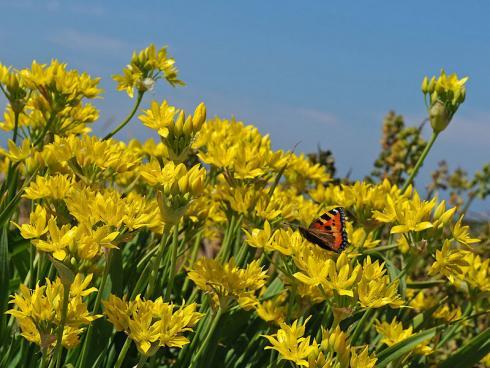Foto: fluwel.de. - Die leuchtend gelbe Allium 'Jeannine' verbreitet sonnige Stimmung im Frühlingsbeet.