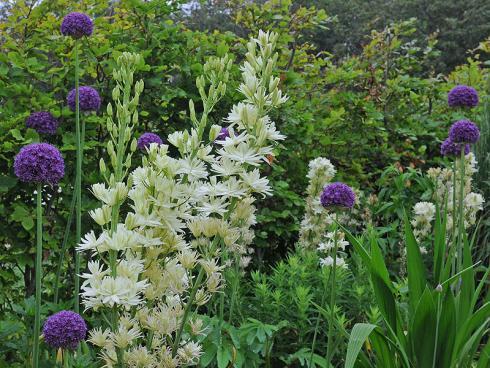 Foto: fluwel.de. - Allium ist ein idealer Beetpartner und eignet sich für verschiedene Kombinationen, zum Beispiel mit der Camassia leichtlinii.