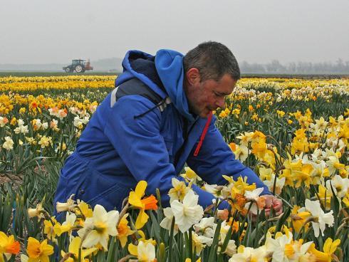 Foto: fluwel.de. - Carlos van der Veek ist leidenschaftlicher Narzissensammler und auch -züchter. Über 2.000 Sorten wachsen bereits auf seinem Narzissenmutterpflanzenfeld.