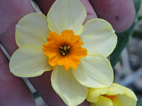 Foto: fluwel.de. - Die Narzisse 'Chappie' beeindruckt mit einer zweifarbigen Blüte in Cremeweiss und Orange.