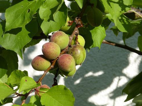 Foto: BGL. - Bietet der Garten eine Mauer, die nach Süden zeigt, können dort sogar wärmeliebende Obstgehölze gepflanzt werden, wie Aprikosen.