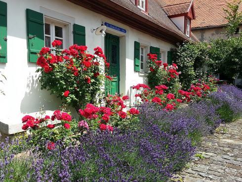 Bild BGL: Lavendel und Rosen haben sich als Pflanzpartner gut bewährt. Neben ihrer Farbe und Blütezeit passen auch ihre ätherischen Öle wunderbar zusammen.