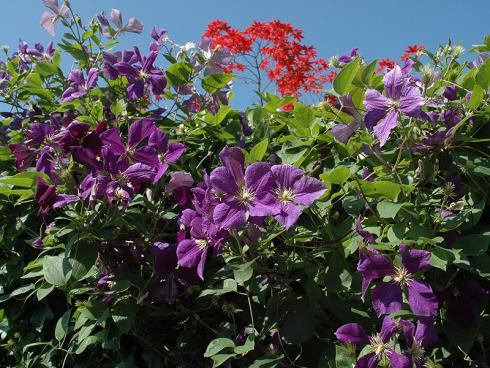 Foto: HELIX. - Die Kombination vom Immergrünem Efeu (Hedera Helix) mit der Waldrebe (Clematis) bringt farbenfrohe Blütenpracht in den Garten.